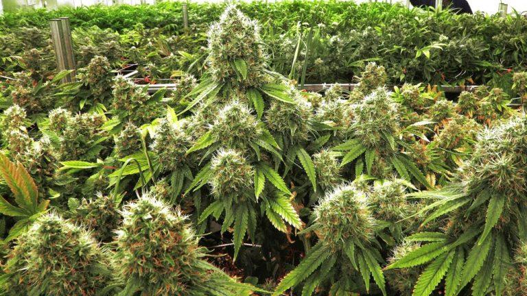 marijuanas | cannabis