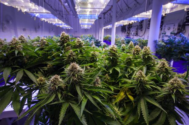 weed | marijuanas | cannabis